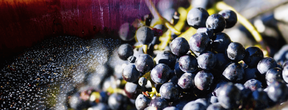 Wine making grapes